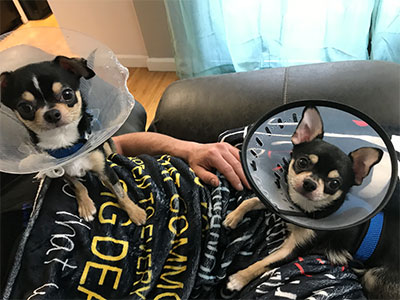 Two chihuahuas sitting with a human while wearing veterinary cones.