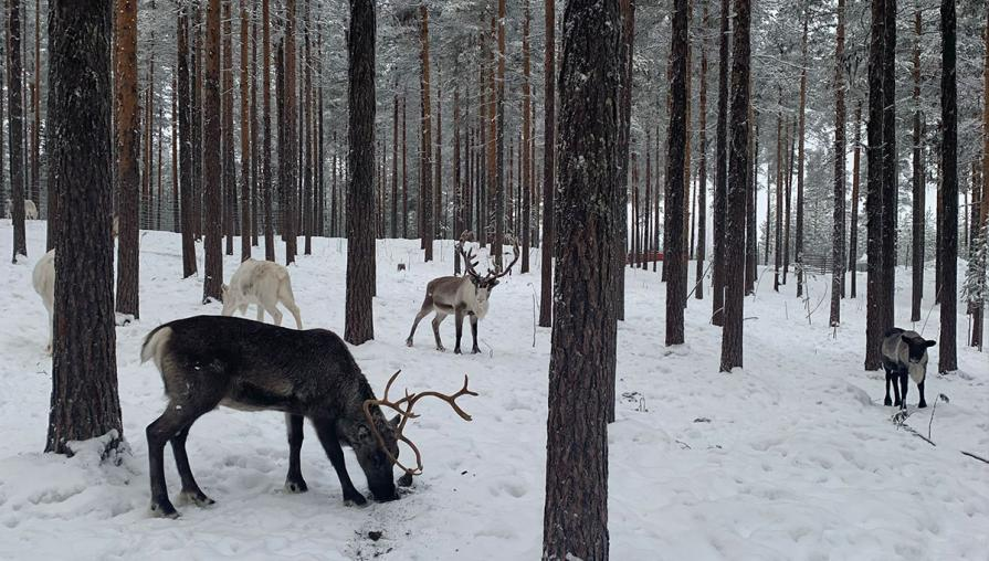 Reindeer grazing in a snowy forest.