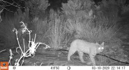 Black and white nighttime photo of a bobcat.
